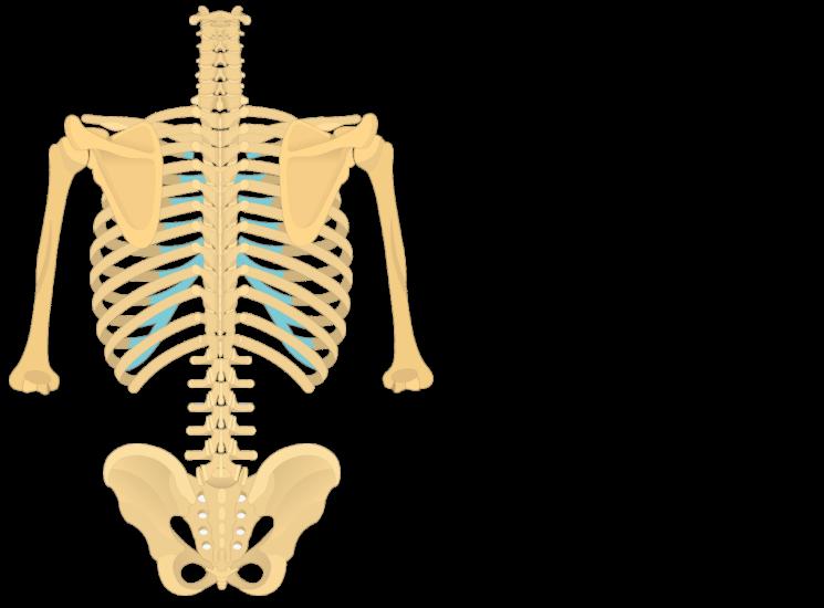 Anatomy of the lumbar vertebrae