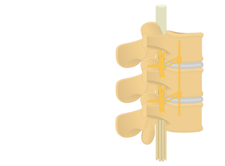 lumbar vertebrae - spinal nerve- articulated view