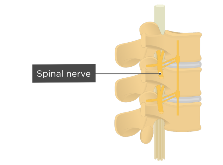 lumbar vertebrae - spinal nerve - articulated view