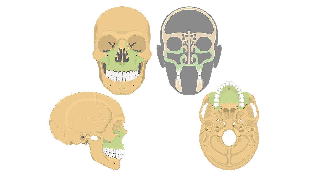 Facial Bones Of The Skull Anatomy Function