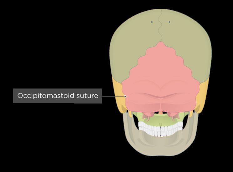 occipitomastoid suture - posterior view - divisions