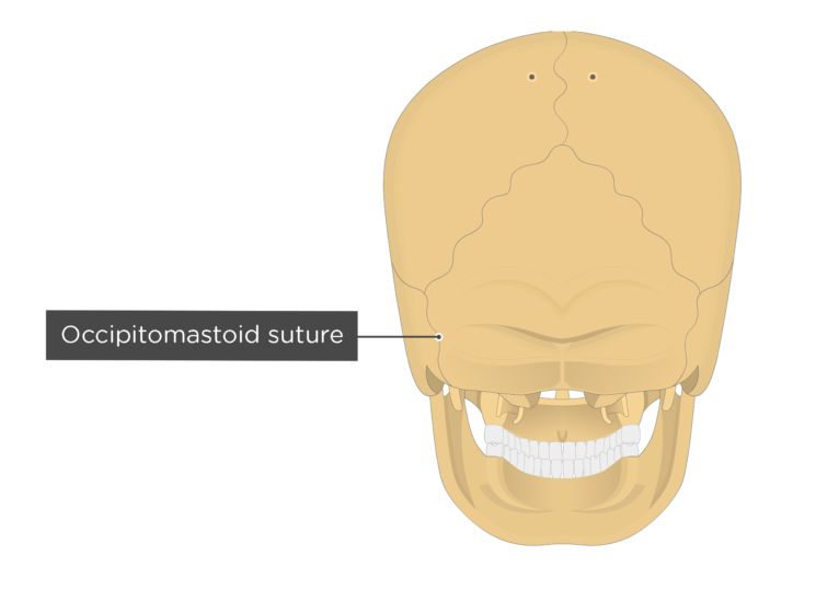 occipitomastoid suture - posterior view
