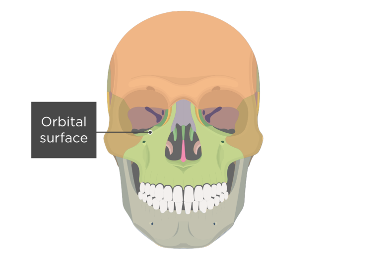 Anterior view of the skull showing the orbital surface