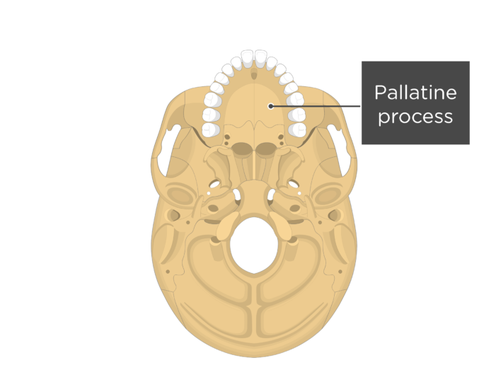 Inferior view of the skull showing the pallatine process