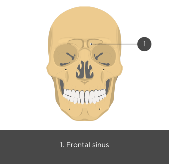 Paranasal sinuses - anterior view - test yourself