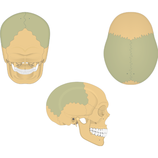 The posterior, superior, and lateral views of the parietal bone - divisions