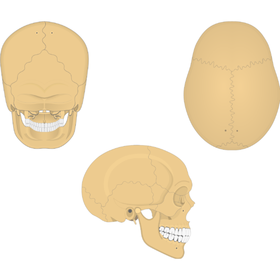 The posterior, superior, and lateral views of the parietal bone