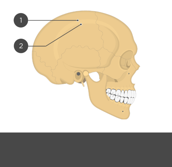 test yourself - parietal bone - lateral view