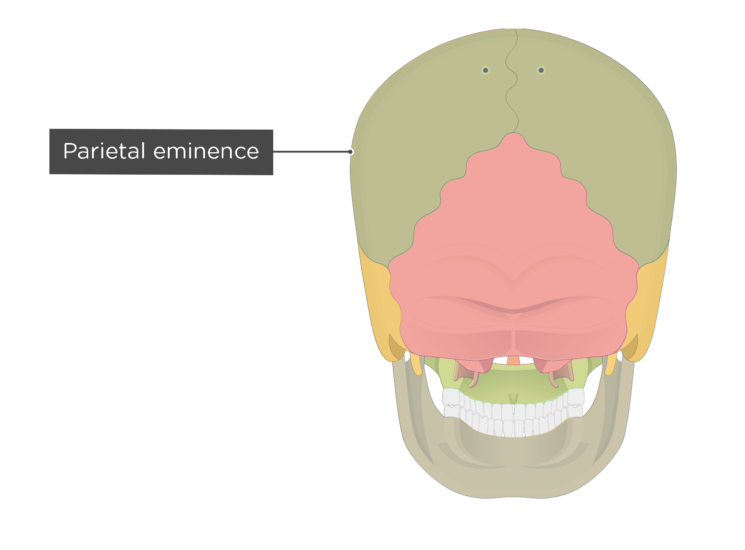 The parietal eminence of the parietal bone - posterior view