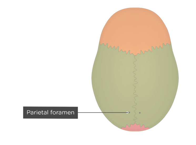 the parietal foramen of the parietal bone - superior view