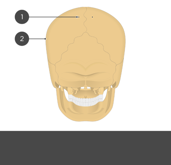 test yourself - parietal bone - posterior view