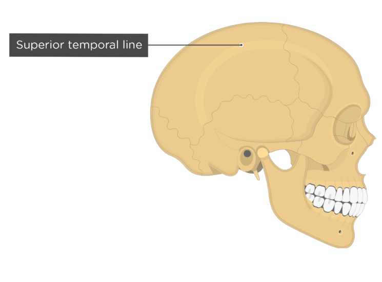 the superior temporal line of the parietal bone - lateral view