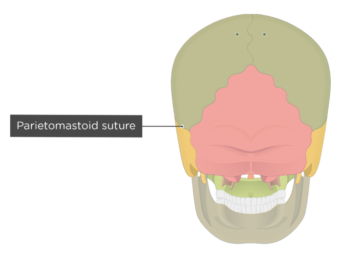 parietomastoid suture - posterior view - divisions