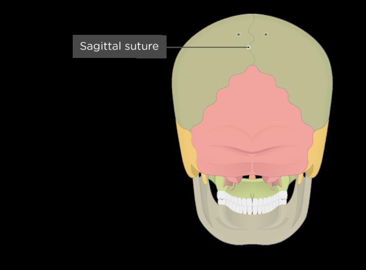 sagittal suture - posterior view - divisions