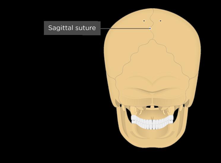 sagittal suture - posterior view