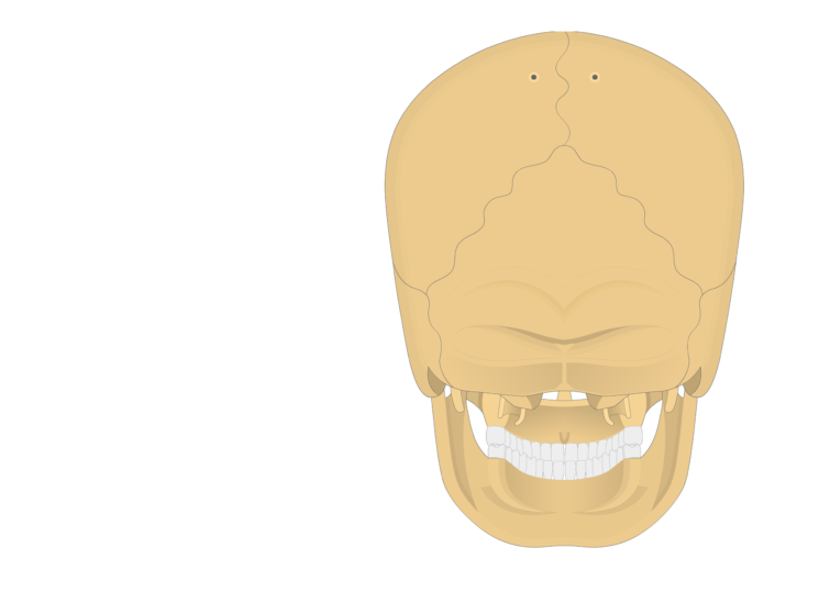 skull sutures - posterior view