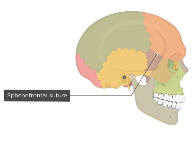 sphenofrontal suture - lateral view - divisions