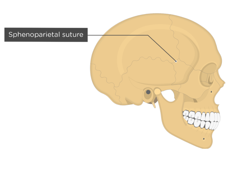 sphenoparietal suture - lateral view