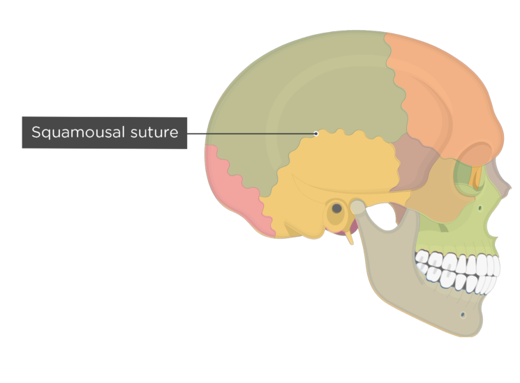 squamousal suture - lateral view - divisions