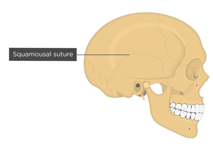 squamousal suture - lateral view