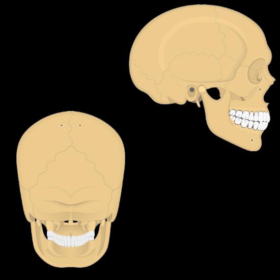 Suturas del cráneo.
