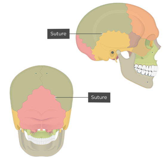 Skull sutures - posterior and lateral views