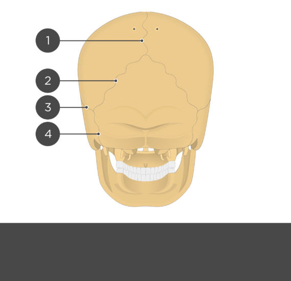 test yourself skull sutures