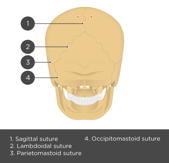 test yourself skull sutures - posterior view - answers
