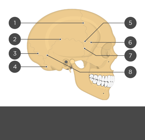 test yourself skull sutures - lateral view