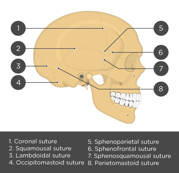 test yourself skull sutures - lateral view - answers