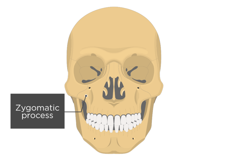 Anterior view of the skull showing the zygomatic process