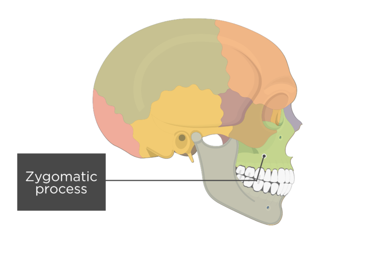 Lateral view of the skull showing the zygomatic process
