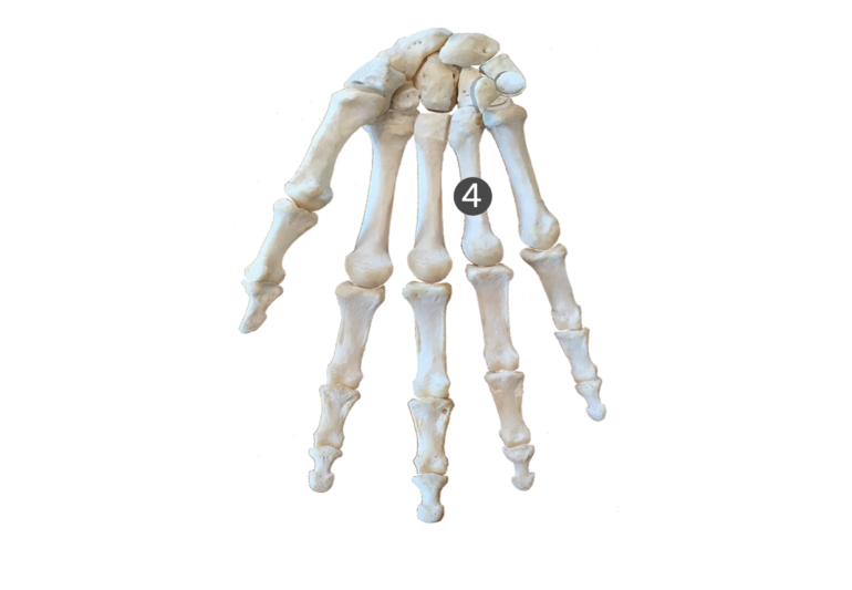 4th metacarpal bone