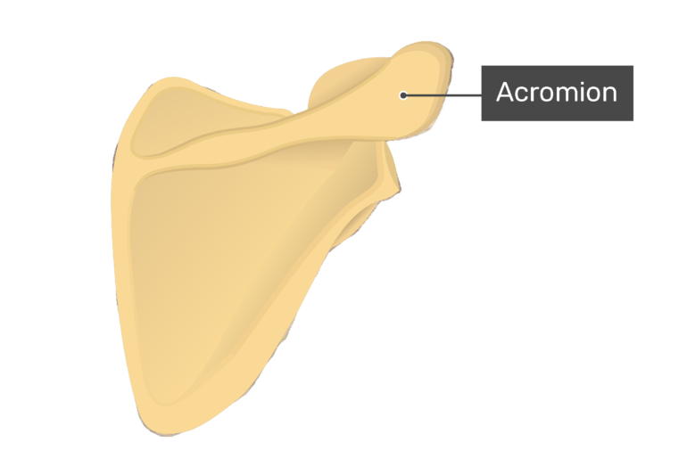 Posterior scapula with labeled acromion