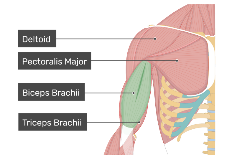 An anterior view of the arm muscles with labels for Deltoid, Pectoralis major, Biceps brachii and Triceps brachii muscles