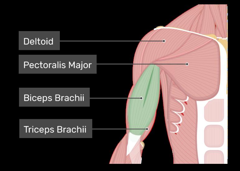 Biceps Brachii Attachments Action Innervation