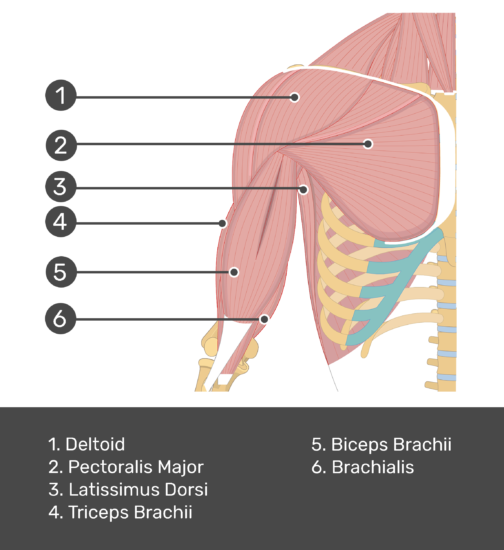 An anterior view of the arm muscles with labels for Deltoid, Pectoralis major, Biceps brachii, Triceps brachii, latissimus dorsi and brachialis muscles