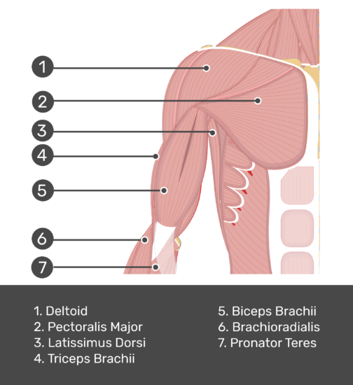 An anterior view of the arm muscles with labels for Deltoid, Pectoralis major, Biceps brachii, Triceps brachii, latissimus dorsi, brachioradialis and pronator teres muscles