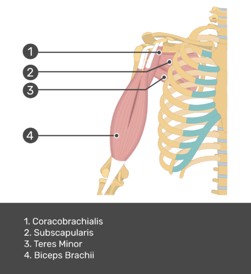 An anterior view of the arm muscles with labels for Coracobrachialis, Subscapularis, Biceps brachii and Teres minor muscles