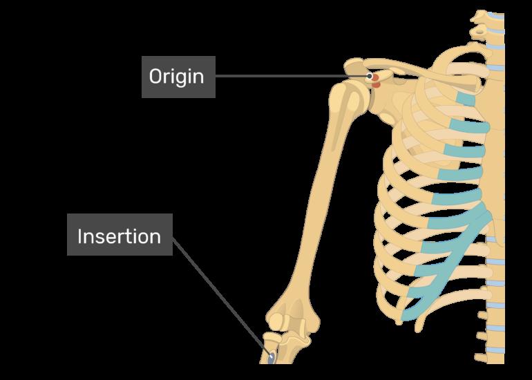 Biceps Brachii - Attachments, Action & Innervation