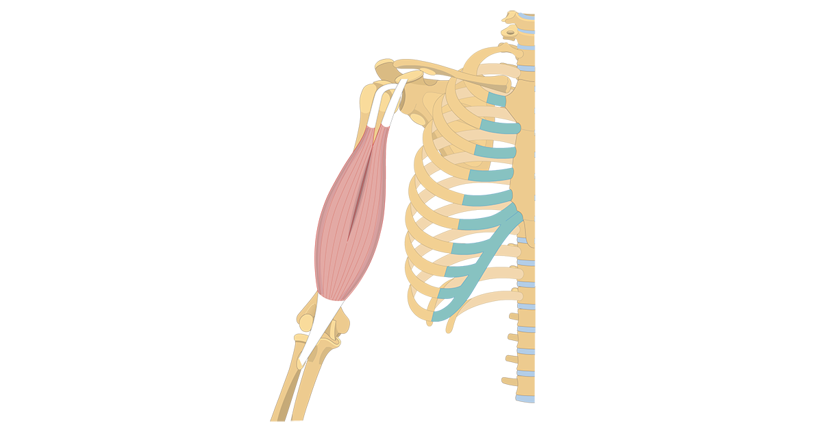 Biceps Brachii - Attachments, Action & Innervation