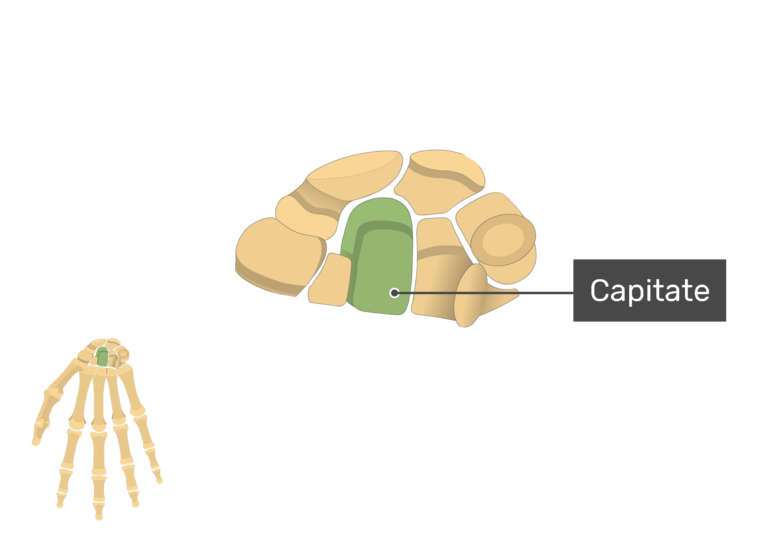 Anterior Hand and Wrist with the carpal bones being magnified and the capitate bone being highlighted