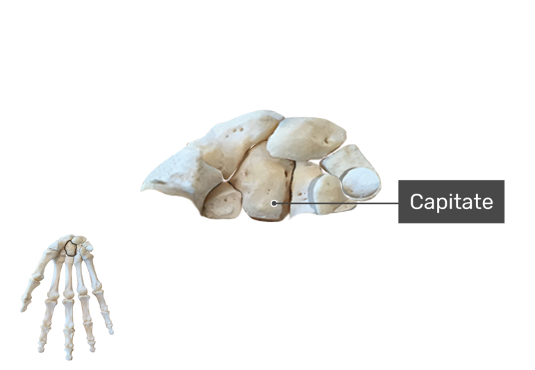 Anterior Hand and Wrist, the carpal bones are being magnified with a label of the capitate bone