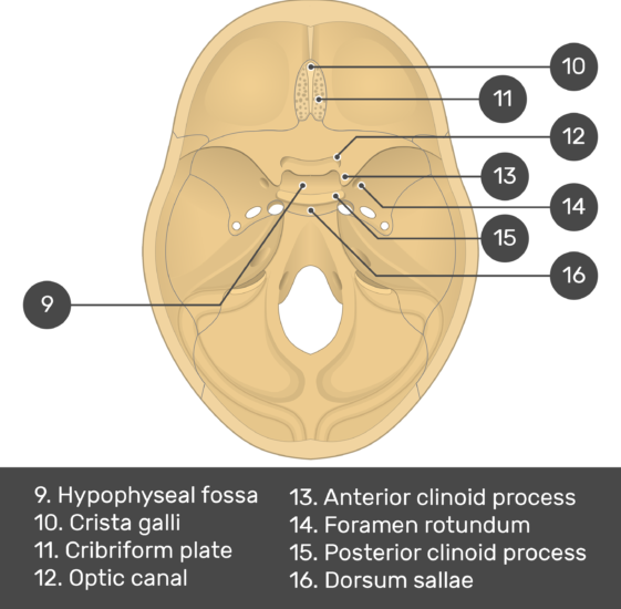 Cranial Floor - Test yourself - Part2 - Answers