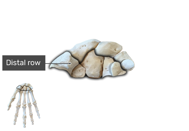 Anterior Hand and Wrist, the carpal bones are being magnified with a label of the distal row