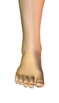 Foot dorsiflexion (4) By Extensor Digitorum Longus Muscle
