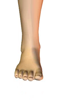 Foot dorsiflexion (5) By Extensor Digitorum Longus Muscle