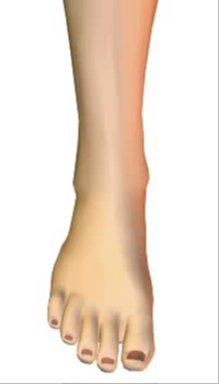 Toes extension (1) By Extensor Digitorum Longus Muscle