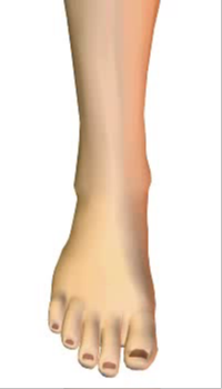 Toes extension (2) By Extensor Digitorum Longus Muscle