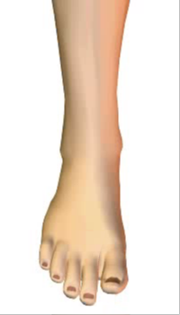 Toes extension (3) By Extensor Digitorum Longus Muscle